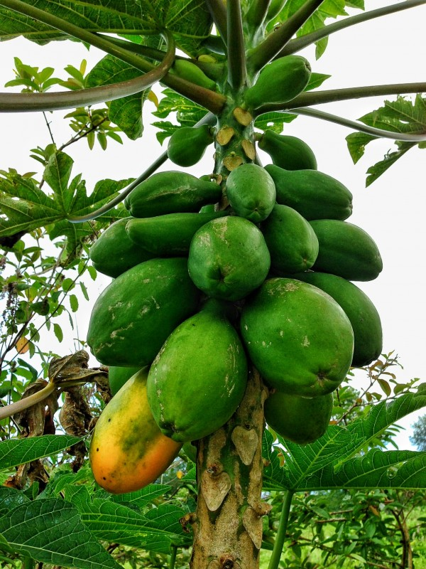plentiful papayas